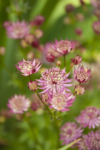 Astrantia Ruby Wedding