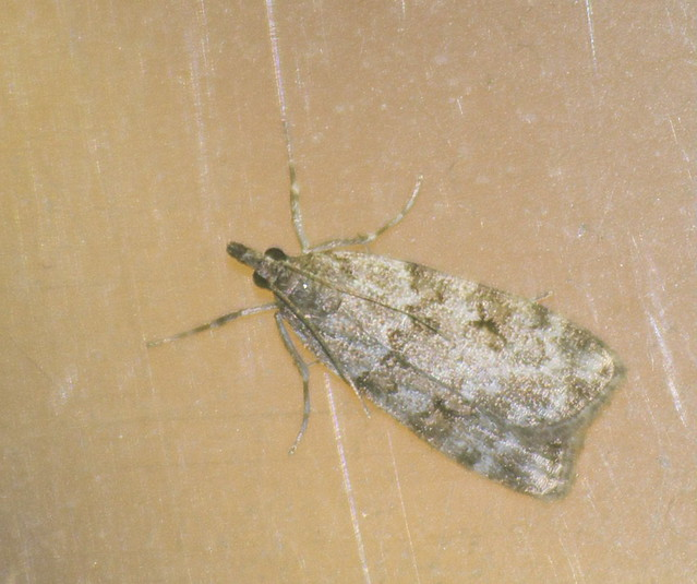 Scoparia-Eudonia sp micro moth DSC_4096