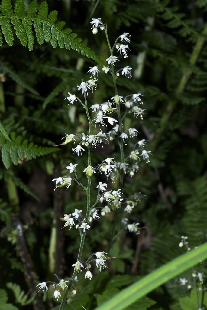 One-leaved Foamflower, Tiarella unifoliata