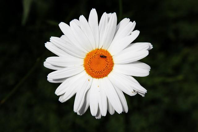 Daisy Original