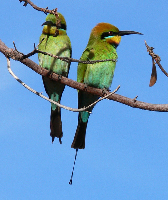 Rainbow Bee Eaters - Kakadu National Park, Northern Territory, Australia