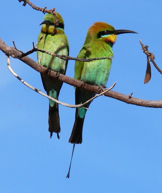 Rainbow Bee Eaters - Kakadu National Park, Northern Territory, Australia