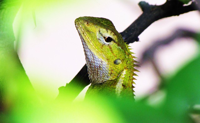 Chameleon...hiding in the bush