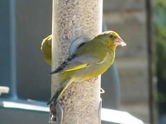 atlantic canary, animal, canary, yellow, fauna, beak, bird,