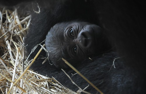 gorilla newborn by russlings
