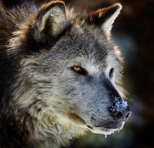 Wolf Portrait by doublejwebers