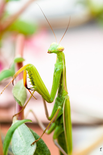 Mantide Religiosa - Praying Mantis