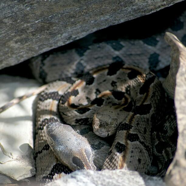 Juvenile Timber Rattlesnakes.   via Instagram instagr.am/p ...