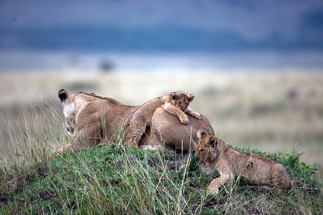 Marsh lion and cubs by Paul Goldstein