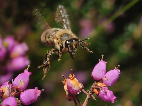 Bee in flight on Heather by Andy Pritchard - Barrowford