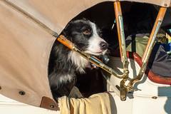 Dog in vintage car