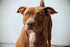 Keisha...sweet sweet sweet Pitt mix. This is the second time I've photographed her, and she just has such an elegant look about her. She's a long timer! Give this baby a home! Photographed 11/2/12.