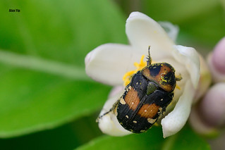 Flower Beetle 20140324 DSC_5622