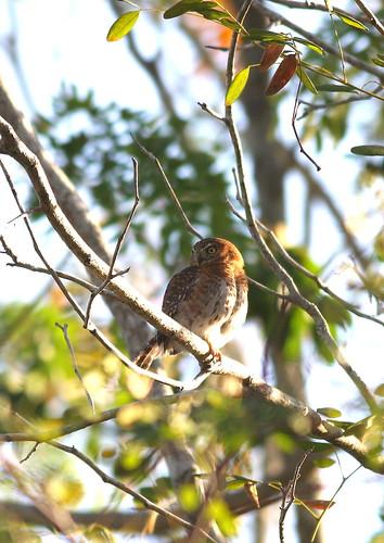 CubanPygmy-Owl1