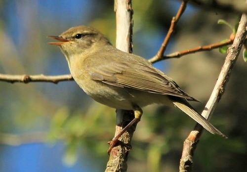 Willow Warbler 26881