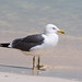 Steppe Gull at al Fizavah S24A8259
