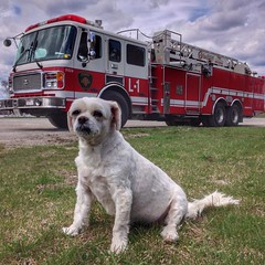 Earning Her Spots #dog #doglove #dogsofinstagram #dogs #petsofinstagram #petsareawesome #awesomeworld #firetruck #bealive #enjoylife