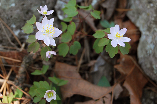 Picture of Rue Anemone, a spring wildflower seen while hiking in the Missouri Ozarks.