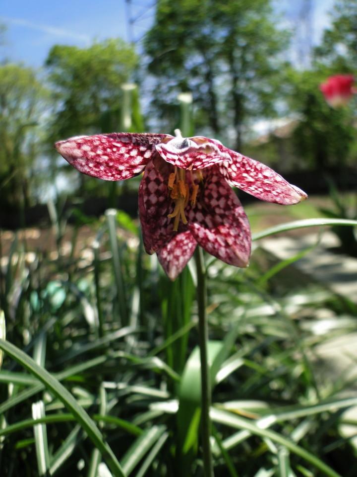 77-21apr12_3617_Botanical_garden_tulip