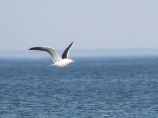 Seagull (b2d16q11)