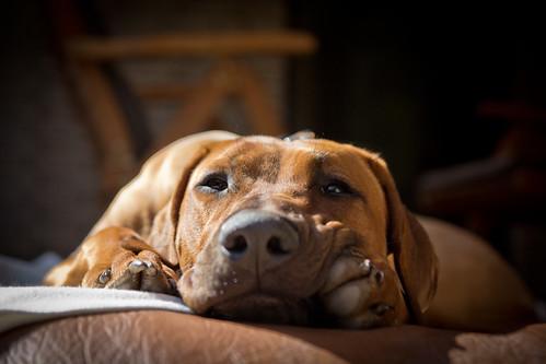 無料写真素材, 動物 , 犬・イヌ, ローデシアン・リッジバック