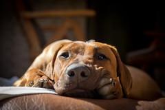 [フリー画像素材] 動物 1, 犬・イヌ, ローデシアン・リッジバック  ID:201204041600