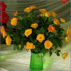 Rosa 'Marie Claire' - Róża