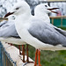 Small photo of Seagull sing along
