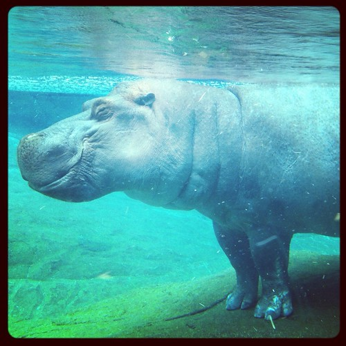 Otis the Hippo @ SD Zoo.