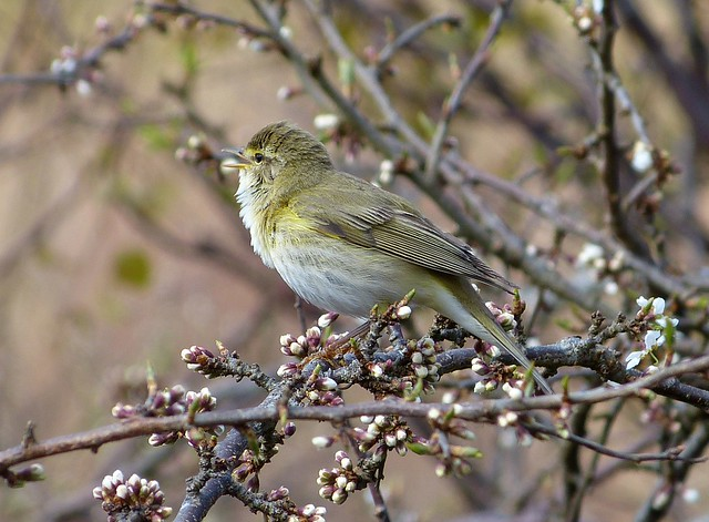 27018 - Willow Warbler, Isle of Mull