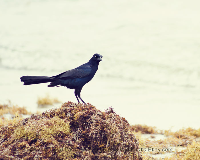 Great-Tailed-Grackle---8x10