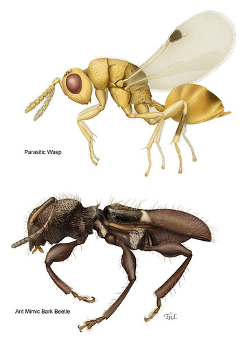 Two paintings by Taina Litwak.  Top image is the lateral view of a tiny golden parasitic wasp (Sycophila smilax) done for Dr. Michael Gates.  The lower image is a newly described species if bark beetle (Licracantha formicaria) done for Dr. Steve Lingafelter.  The golden wasp was done to illustrate a publication, a study (being done in Florida) of a complex of wasps and their parasites, which produce of galls on a native species of vine plants.   The beetle painting is a lateral view of one of a series of 3 newly discovered species of ant mimic bark beetles from the Dominican Republic.