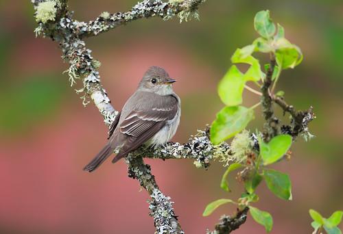 bird flycatcher westernwoodpewee scattercreek 800mmf56lis
