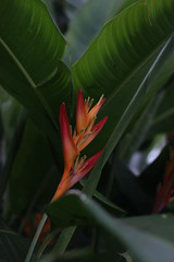 canna lily, flower, leaf, plant, macro photography, flora, green, close-up, heliconia, plant stem,