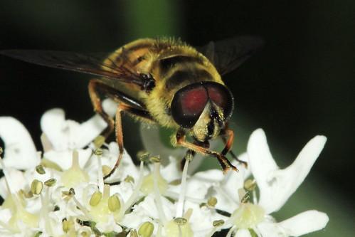 Myathropa florea 9058