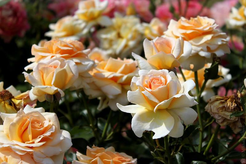 Rose 'Angie', (Delbard, 2003), Shrub, Floribunda — Роза кустовая (флорибунда) 'Angie', (Delbard, 2003)