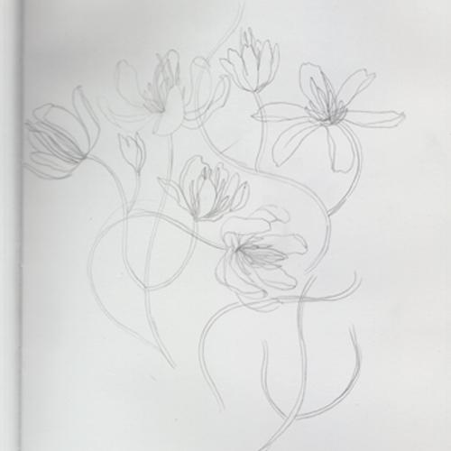 clematis_lindsaynohl_sketch_sm