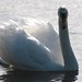 Small photo of Swan