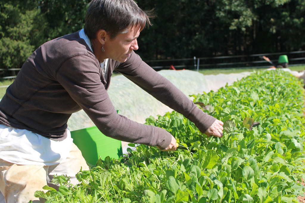 Harvesting greens at Granite Springs Farm