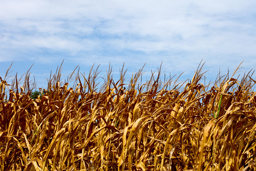 corn crop in Virginia (by: Tom Woodward, creative commons)