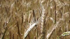 food(0.0), emmer(1.0), hordeum(1.0), prairie(1.0), agriculture(1.0), triticale(1.0), einkorn wheat(1.0), rye(1.0), food grain(1.0), field(1.0), barley(1.0), wheat(1.0), plant(1.0), crop(1.0), cereal(1.0),