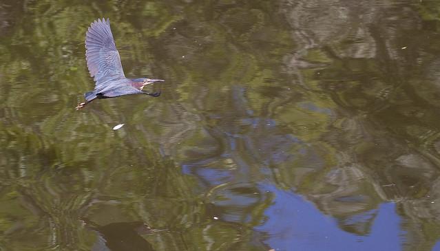 green heron in flight 3