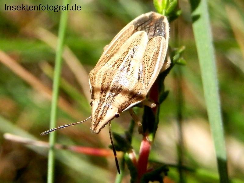 Getreidespitzwanze oder Spitzling (Aelia acuminata)