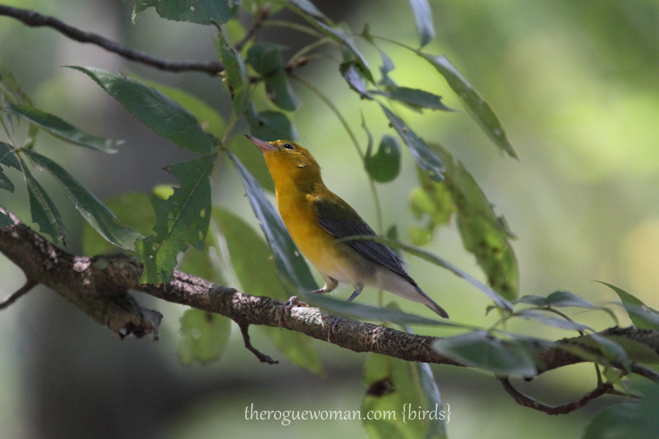 072512_04_bird_prothonotaryWarbler2