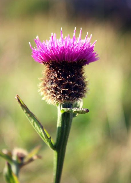 the national flower of scotland