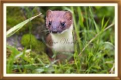 animal(1.0), weasel(1.0), mustelidae(1.0), mammal(1.0), fauna(1.0), marten(1.0),