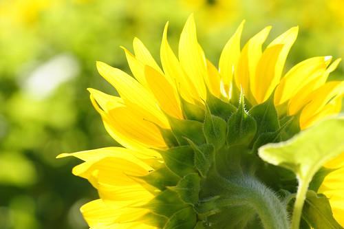 無料写真素材, 花・植物, 向日葵・ヒマワリ