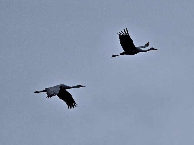 Sandhill Cranes 20121103