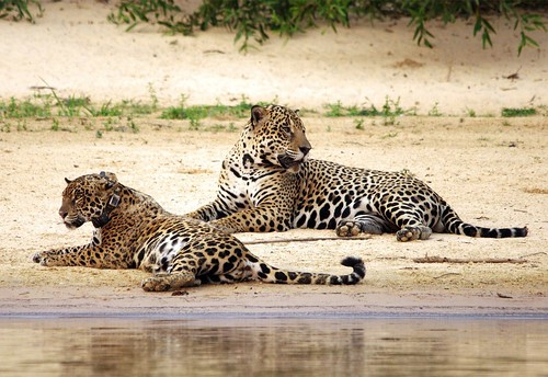 Female and Male Jaguar Resting After Mating by masaiwarrior