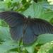 Small photo of SPANGLE (Papilio protenor)